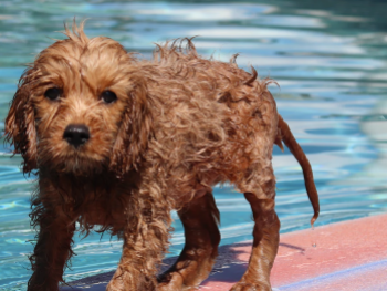 Piepende-hond